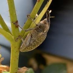 Larinus latus (Onopordum seed weevil) at Murrumbateman, NSW - 24 Jan 2021 by SimoneC