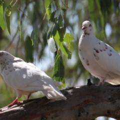 Columba livia (Rock Dove) at Albury - 23 Jan 2021 by PaulF
