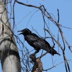 Corvus coronoides (Australian Raven) at Albury - 23 Jan 2021 by PaulF