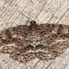 Ectropis fractaria (Ringed Bark Moth) at Melba, ACT - 16 Jan 2021 by kasiaaus