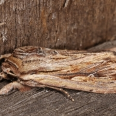 Persectania (genus) (A Noctuid moth) at Melba, ACT - 16 Jan 2021 by kasiaaus