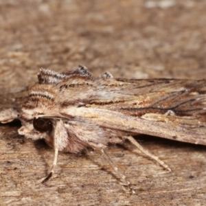 Persectania (genus) at Melba, ACT - 17 Jan 2021