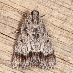 Spectrotrota fimbrialis (A Pyralid moth) at Melba, ACT - 16 Jan 2021 by kasiaaus