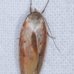 Ptyoptila matutinella (A Concealer moth) at Melba, ACT - 16 Jan 2021 by kasiaaus