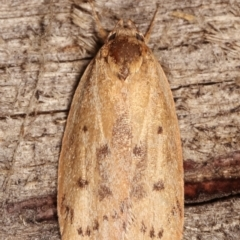 Heliocausta undescribed species (A concealer moth) at Melba, ACT - 16 Jan 2021 by kasiaaus