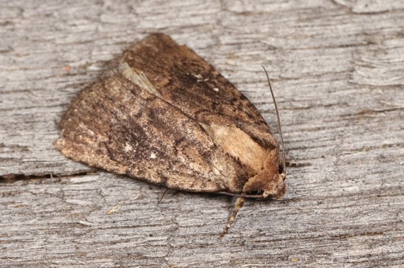 Proteuxoa provisional species 2 at Melba, ACT - 17 Jan 2021
