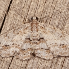 Boarmiini (tribe) (Geometer moth) at Melba, ACT - 17 Jan 2021 by kasiaaus