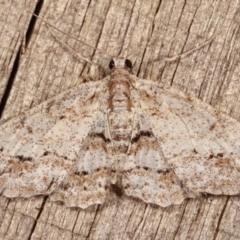 Boarmiini (tribe) (Geometer moth) at Melba, ACT - 17 Jan 2021 by kasiaaus
