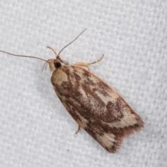Garrha (genus) (A concealer moth) at Melba, ACT - 17 Jan 2021 by kasiaaus