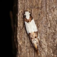 Monopis meliorella (Blotched Monopis Moth) at Melba, ACT - 17 Jan 2021 by kasiaaus