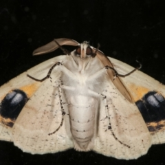Gastrophora henricaria (Fallen-bark Looper, Beautiful Leaf Moth) at Melba, ACT - 17 Jan 2021 by kasiaaus