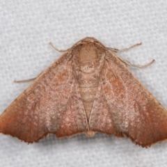 Aglaopus centiginosa (Dark-fringed Leaf Moth) at Melba, ACT - 17 Jan 2021 by kasiaaus