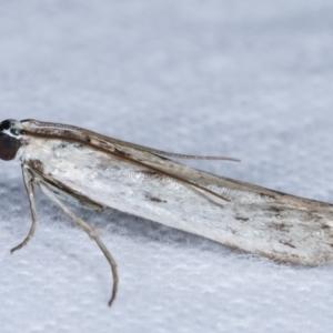 Phycitinae sp. (subfamily) at Melba, ACT - 18 Jan 2021