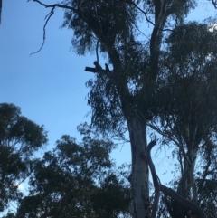 Callocephalon fimbriatum (Gang-gang Cockatoo) at Mount Majura - 25 Jan 2021 by JochenZeil
