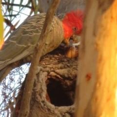 Callocephalon fimbriatum (Gang-gang Cockatoo) at Mount Majura - 20 Jan 2021 by Christine