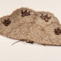 Casbia celidosema (A Geometer moth) at Melba, ACT - 18 Jan 2021 by kasiaaus