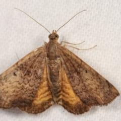 Chrysolarentia mecynata (Mecynata Carpet Moth) at Melba, ACT - 18 Jan 2021 by kasiaaus