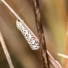 Utetheisa sp. (genus) (A tiger moth) at Wodonga - 25 Jan 2021 by Kyliegw