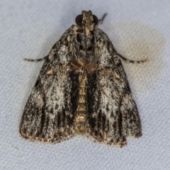 Spectrotrota fimbrialis (A Pyralid moth) at Melba, ACT - 2 Jan 2021 by Bron