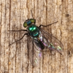 Dolichopodidae sp. (family) (Unidentified Long-legged fly) at Melba, ACT - 16 Jan 2021 by kasiaaus