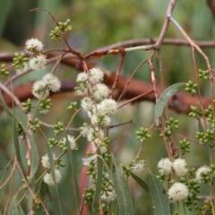 Eucalyptus bridgesiana (Apple Box) at Wodonga - 25 Jan 2021 by Kyliegw