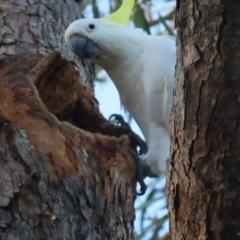 Cacatua galerita (Sulphur-crested Cockatoo) at Red Hill Nature Reserve - 20 Jan 2021 by roymcd