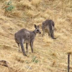 Macropus giganteus (Eastern Grey Kangaroo) at Wodonga - 25 Jan 2021 by Kyliegw