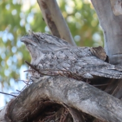 Podargus strigoides (Tawny Frogmouth) at Garran, ACT - 14 Jan 2021 by roymcd