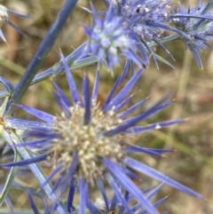Eryngium ovinum (Blue Devil) at Federal Golf Course - 26 Jan 2021 by KL