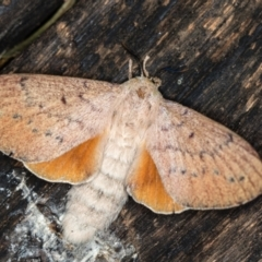 Entometa undescribed species nr fervens (Common Gum Snout Moth) at Melba, ACT - 3 Jan 2021 by Bron