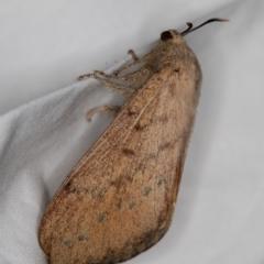 Entometa undescribed species nr fervens at Melba, ACT - 3 Jan 2021