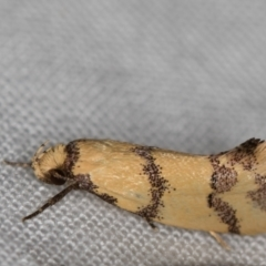 Psaroxantha calligenes (A concealer moth) at Melba, ACT - 3 Jan 2021 by Bron