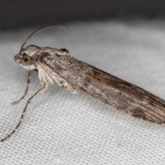 Heteromicta pachytera (Pyralid moth) at Melba, ACT - 3 Jan 2021 by Bron