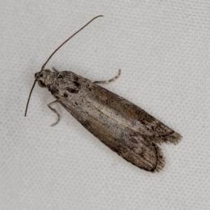 Heteromicta pachytera at Melba, ACT - 3 Jan 2021