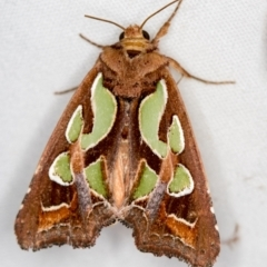 Cosmodes elegans (Green blotched moth) at Melba, ACT - 3 Jan 2021 by Bron