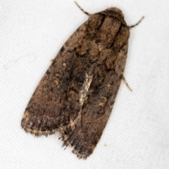 Proteuxoa provisional species 2 at Melba, ACT - 3 Jan 2021 by Bron
