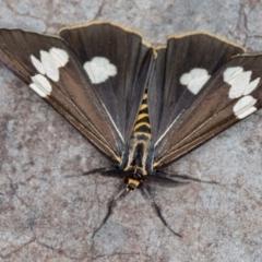 Nyctemera amicus (Senecio or Magpie moth) at Melba, ACT - 3 Jan 2021 by Bron