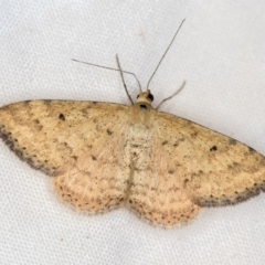 Scopula rubraria (Reddish Wave) at Melba, ACT - 3 Jan 2021 by Bron