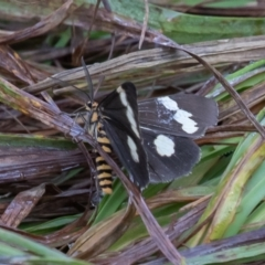 Nyctemera amicus (Senecio or Magpie moth) at Kosciuszko National Park, NSW - 24 Jan 2021 by rawshorty