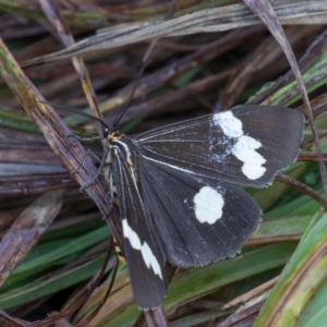 Nyctemera amicus at Kosciuszko National Park, NSW - 25 Jan 2021