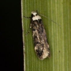Endrosis sarcitrella (White Shouldered House Moth) at Melba, ACT - 3 Jan 2021 by Bron