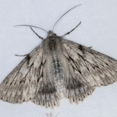 Cyneoterpna wilsoni (Wilson's Grey) at Melba, ACT - 3 Jan 2021 by Bron