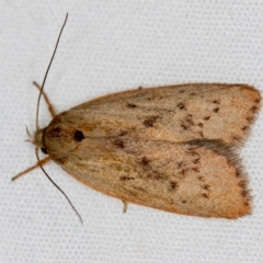 Heliocausta undescribed species (A concealer moth) at Melba, ACT - 3 Jan 2021 by Bron
