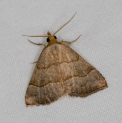 Meranda susialis (Three-lined Snout Moth) at Melba, ACT - 3 Jan 2021 by Bron