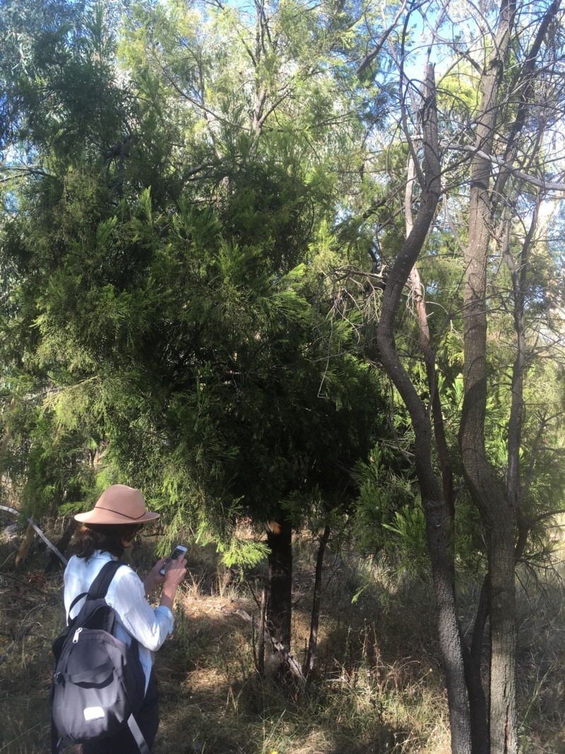 Exocarpos cupressiformis at Mount Ainslie - 23 Jan 2021