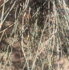Allocasuarina verticillata at Mount Ainslie - 23 Jan 2021
