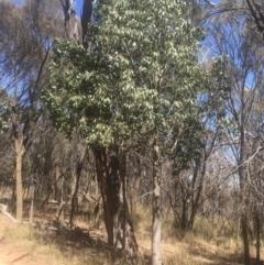 Brachychiton populneus subsp. populneus (Kurrajong) at Majura, ACT - 22 Jan 2021 by alex_watt