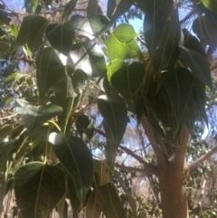 Brachychiton populneus subsp. populneus at Mount Ainslie - 23 Jan 2021