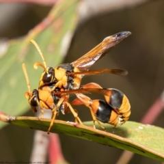 Delta bicinctum (Potter wasp) at Black Mountain - 25 Jan 2021 by Roger