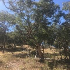 Eucalyptus polyanthemos (Red Box) at Mount Ainslie - 22 Jan 2021 by alex_watt